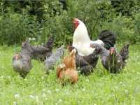 Tiere auf dem Bauernhof Hühner