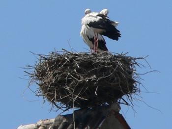 Storchennest auf dem Storchenturm in Cham
