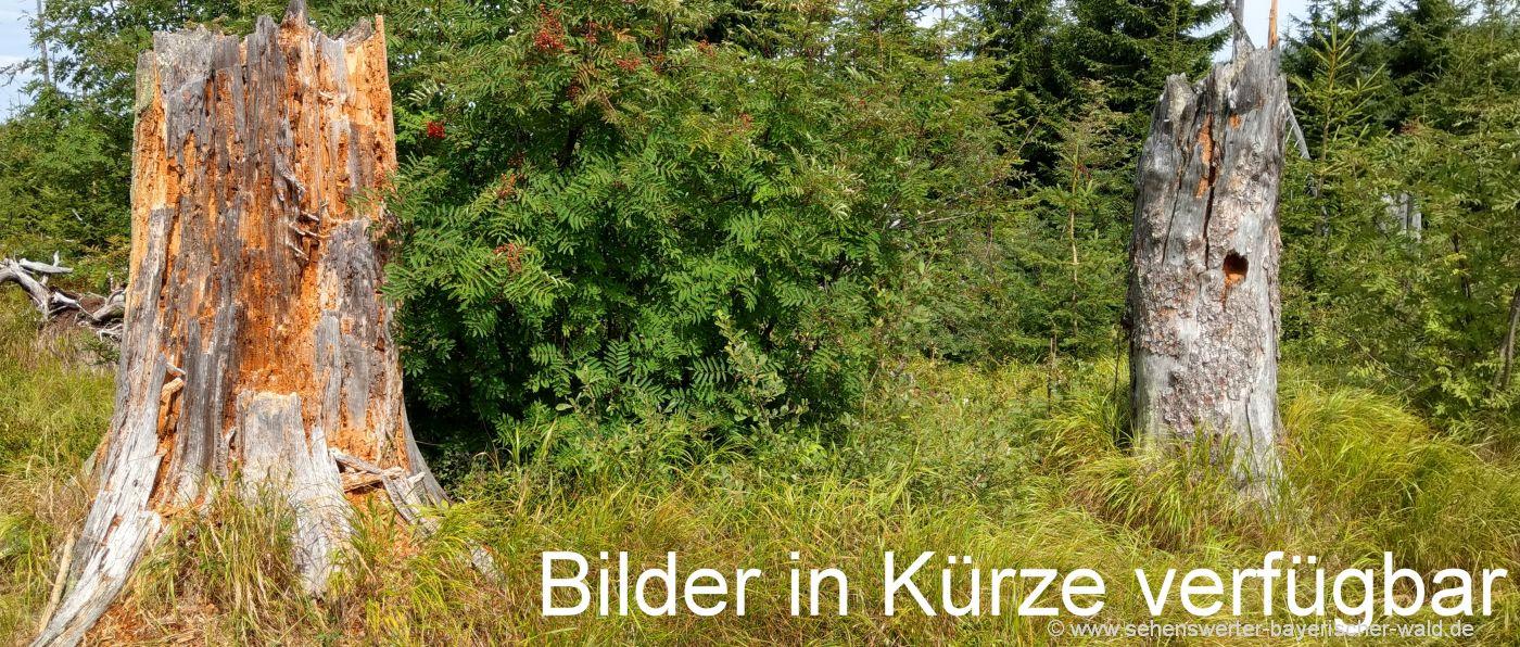 1a-naturbilder-bayerischer-wald-baumstumpf-totholz-fotos