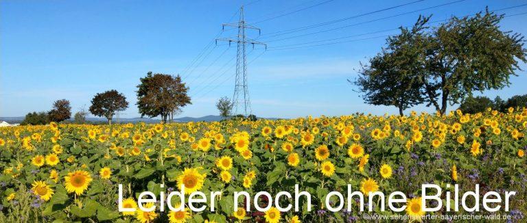 naturbilder-sonnenblumen-feld-bayern-pflanzen-fotos