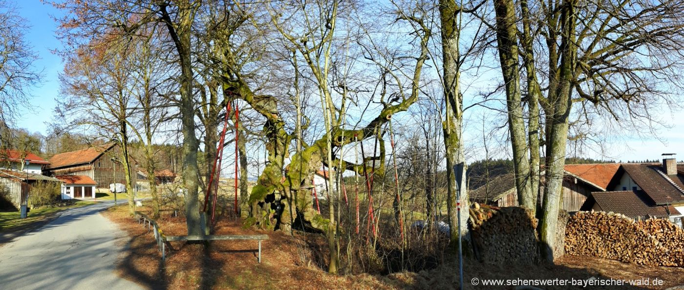 bad-kötzting-1000-jährige-wolframslinde-ried-am-haidstein-bayerischen-wald