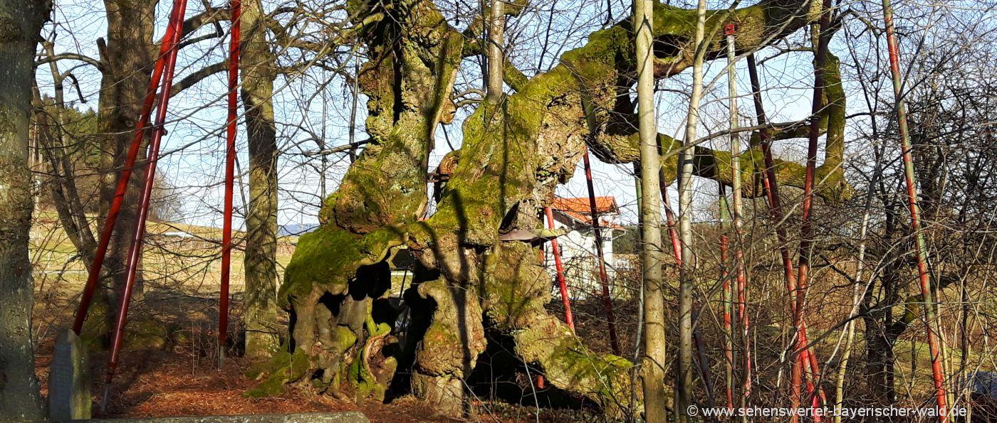 bad-kötzting-wolframslinde-ried-haidstein-naturdenkmal-1000-jahre-alter-baum