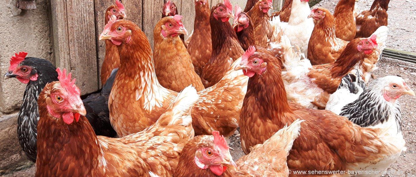bauernhofurlaub-bayerischer-wald-tiere-erleben-hühner