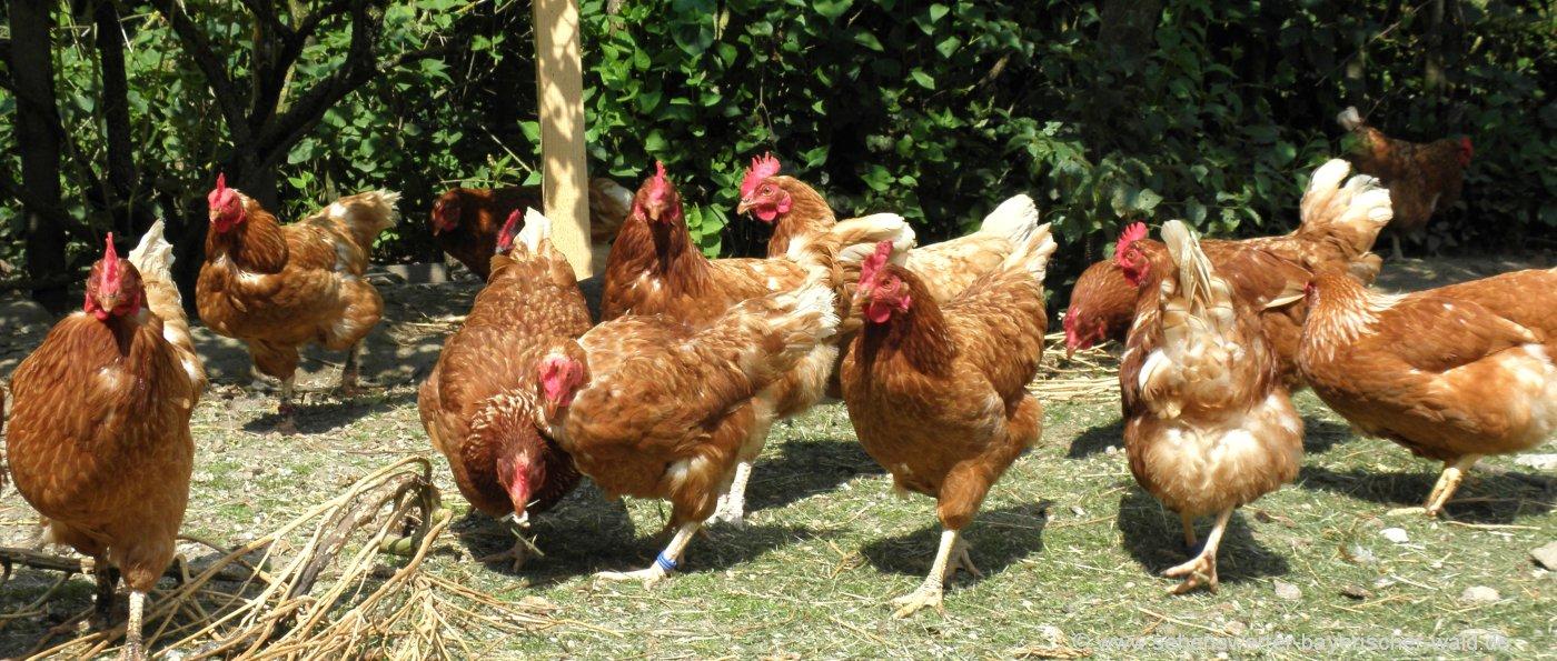 bauernhofurlaub-bayern-tiere-federvieh-hühner