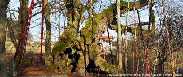 bayerischer-wald-naturdenkmal-1000-jahre-alter-baum-oberpfalz