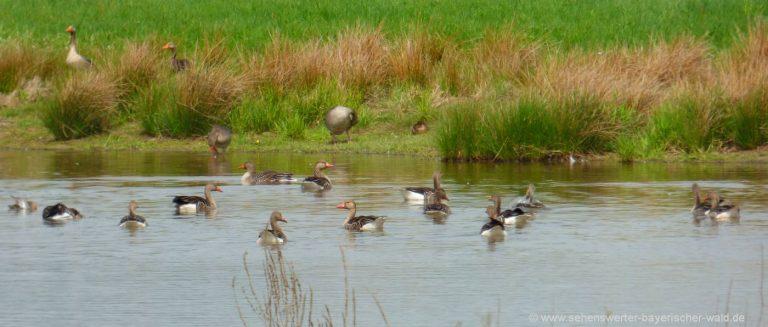 cham-vogelschutzgebiet-regentalauen-rötelseeweiher