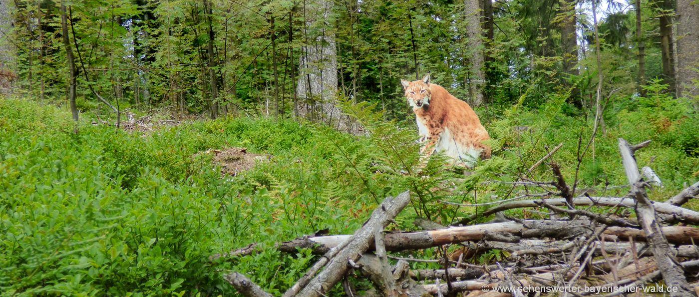 sankt-englmar-wildes-waldgebirge-rundweg-naturlehrpfad-luchs