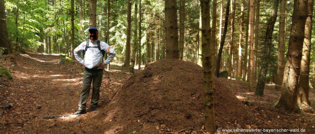 riesige Ameisenhaufen am Rundwanderweg Längseugenweg bei Schorndorf