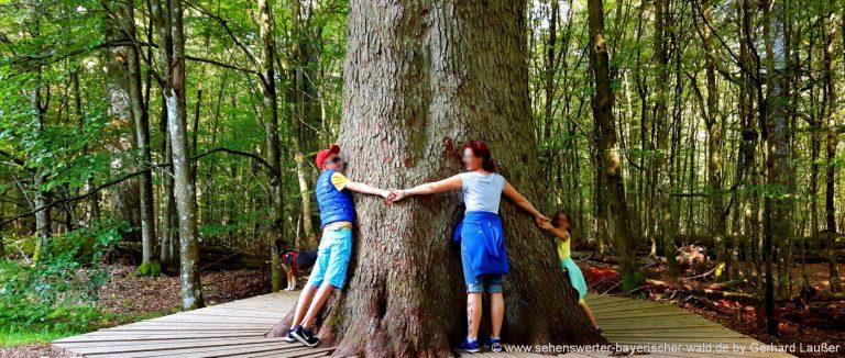 urwaldwanderungen-nationalpark-bayerischer-wald-urwaldwege-baumriesen
