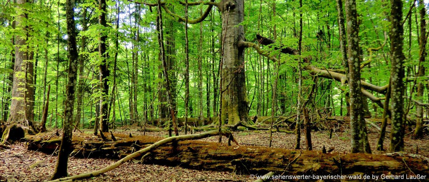 Urwalderlebnisweg Hans-Watzlik-Hain Top Urwald Wanderung