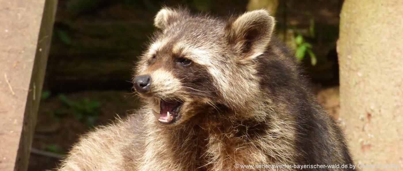 wildpark-niederbayern-wildgehege-tierpark-zoo-waschbär