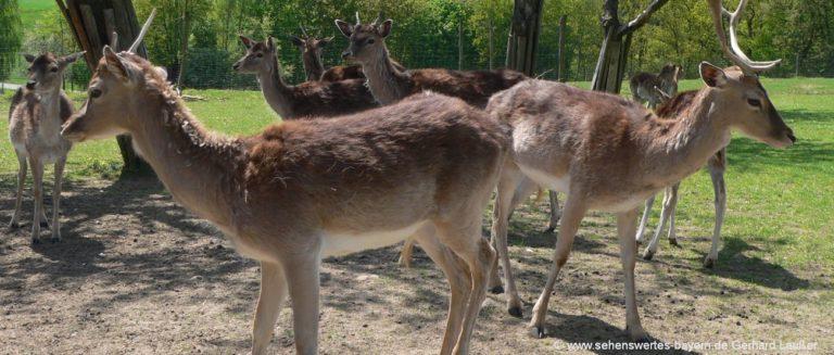 wildtierpark-ortenburg-wildtiere-rehe-hirschen-dammwild-1300